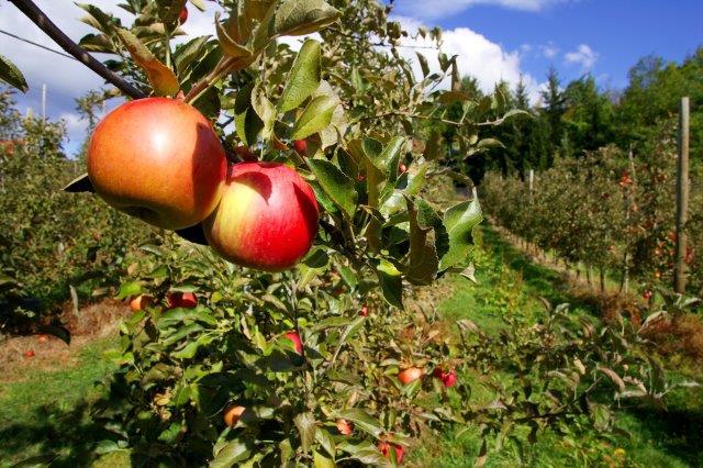 Frankolovo jabolke3